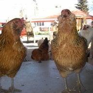ChickenBiscuit