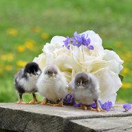 de kippendame