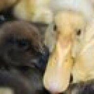 Mama duck 8