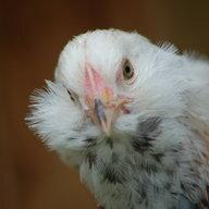 chickenstew