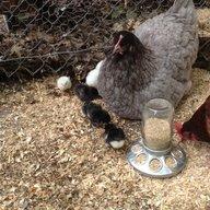 chickenn@@b
