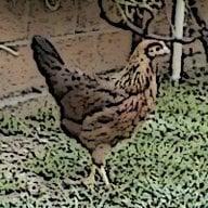 chicklover16