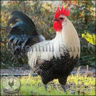 chickenlady3