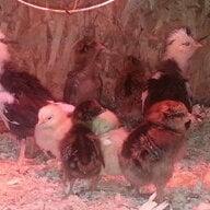 chickenbythesea