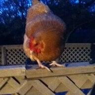 chickengoober