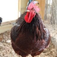 chickenboy1400