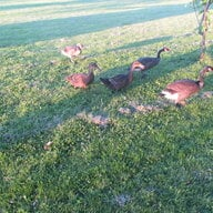 geese8