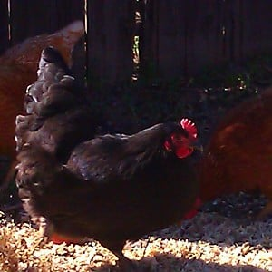 Australorp Backyard Chickens