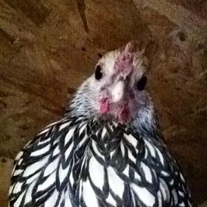 Sebright Backyard Chickens