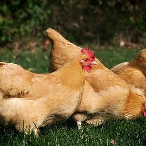 Merveilleux Chicken Breeds