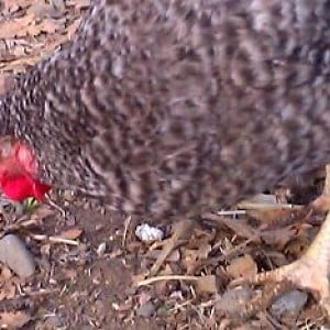 California Grey Backyard Chickens