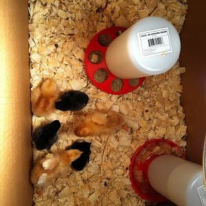 Bantams & Red Pullets
