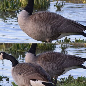 2020 Canada Geese