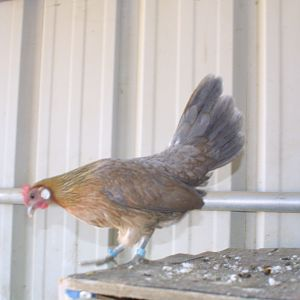 Blue Light Brown Dutch Pullet