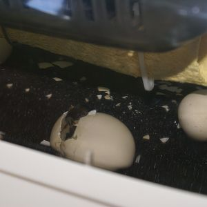 eggs hatching out