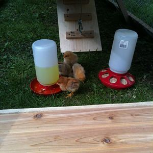little chicks trying out the ark