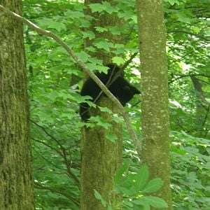 The baby black bears in Tennessee 2010.