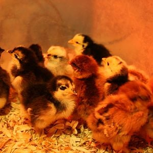 Bantam Cochin Chicks (hatched between 7/16/12 and 7/18/12