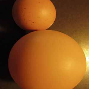 Small egg pictured w/ regular sized egg