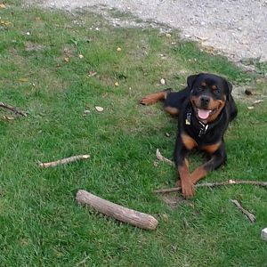 Zao, my 10 month old Rottie, who supervises everything.  In this pic he is VERY proud of his current  collection of sticks!
