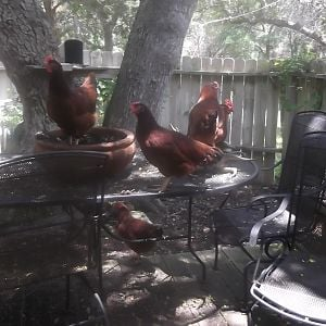 The whole bunch have taken over the picnic table. A chicken in a pot?