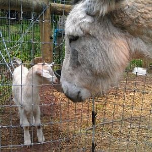 Paloma the donkey meets little Imogene for the first time.