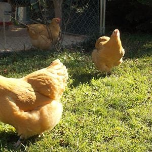 4 SOP pullets at 6 Mos and 3 weeks 2012