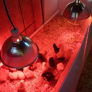 "The chick brooder inside the coop.  Notice the PVC pipe waterer with ""nipples""!"