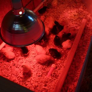 Another photo of the chicken brooder and chicks.