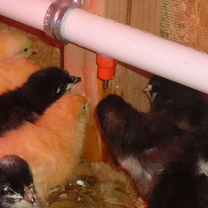 The chicks drinking from one of six nipples.  The PVC pipe can be raised as the chicks grow.