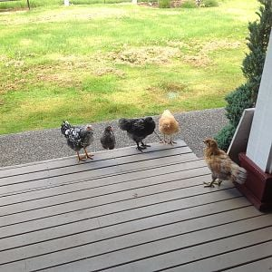 Chickies coming to door to visit