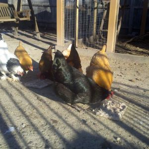 Chickens Enjoy Oats on Cold Morn