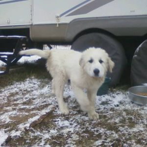 This is my five months old Great Pyrenees who is learning to protect the flock. So far she is doing really well.