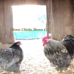 Blue Mille Roo and Blue split Mille Hen Bantam
