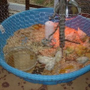 My Brood Pen...