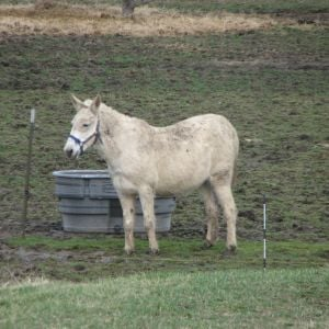 My not-so-white mule, Moon. His name should be Mr. Mud. If there is even the slightest muddy spot in the pasture, he will find it and roll in it, lol.