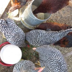 Three girls and a whole lot of roosters we hatched