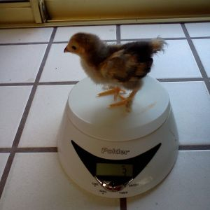 Buff Brahma Bantam, 3 ounces, two weeks old.  Rosie.