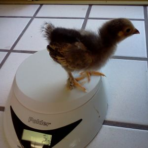 Buff Brahma Bantam, 2.5 ounces, two weeks old.  Ellie.