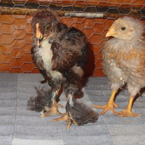 "Barred Cochin ""Lucky"" at 5 weeks...cockerel (for sure...pink comb, pink wattles, spurs)"