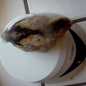Buff Brahma Bantam.  20 days old.  105 grams.  Ellie.