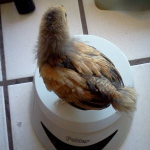 Buff Brahma Bantam.  20 days old.  121 grams.  Rosie.