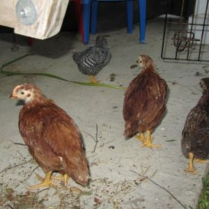 "RooRoo RIR on the left, other RIR in middle, Partridge Wyandotte Bantam on the right.(all7 weeks ""ish""). Baby barred rock, 2 weeks, bought as pullet."