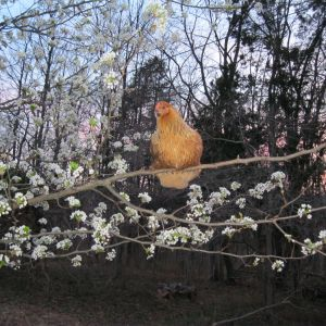 Easter egger, Chicken Nugget, in her tree
