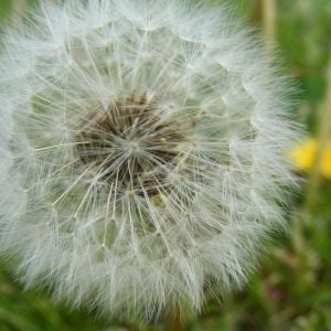 A dandelion in my yard :)