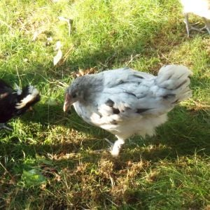 Frenchie, the Blue (more like Black) Splash Marans.