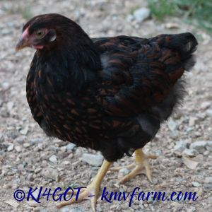 black laced red pullet from my trio