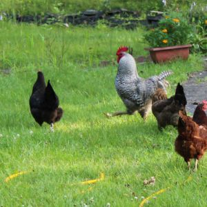 chicken in the front yard. barred rock rooster, australorp, rhode island red and Americana.