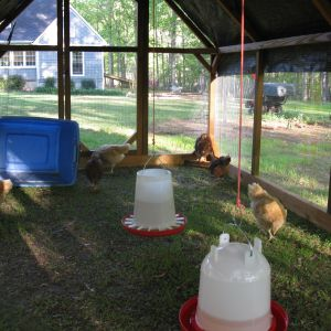 I used the tupperware tub to ferry the girls back and forth from the brood pen to the run until I got the coop built and coupled to the run.