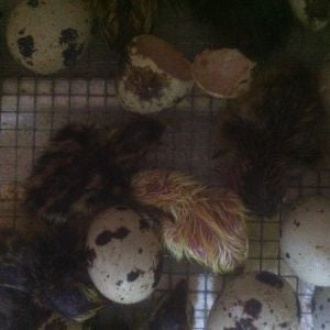 So far 17 quail have hatched. With only one yellow chick.